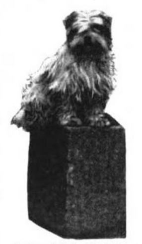 Shantung Terrier